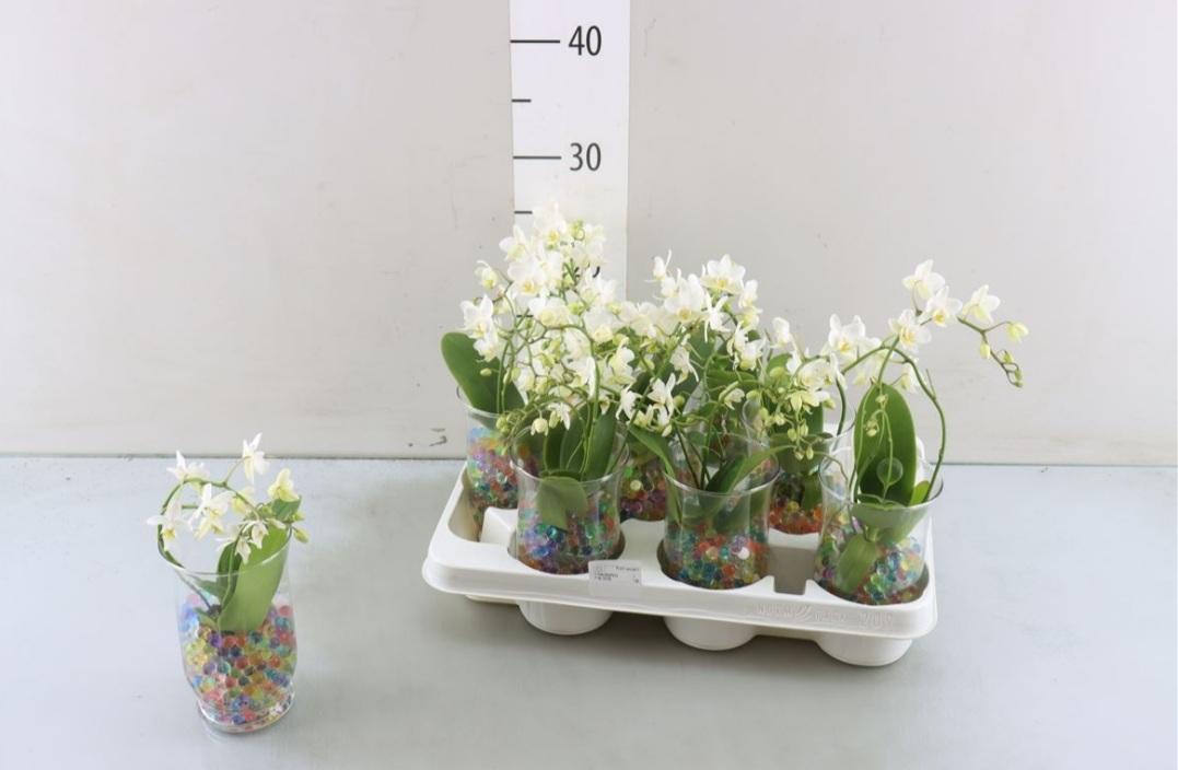 Arr Phalaenopsis Glas+gel