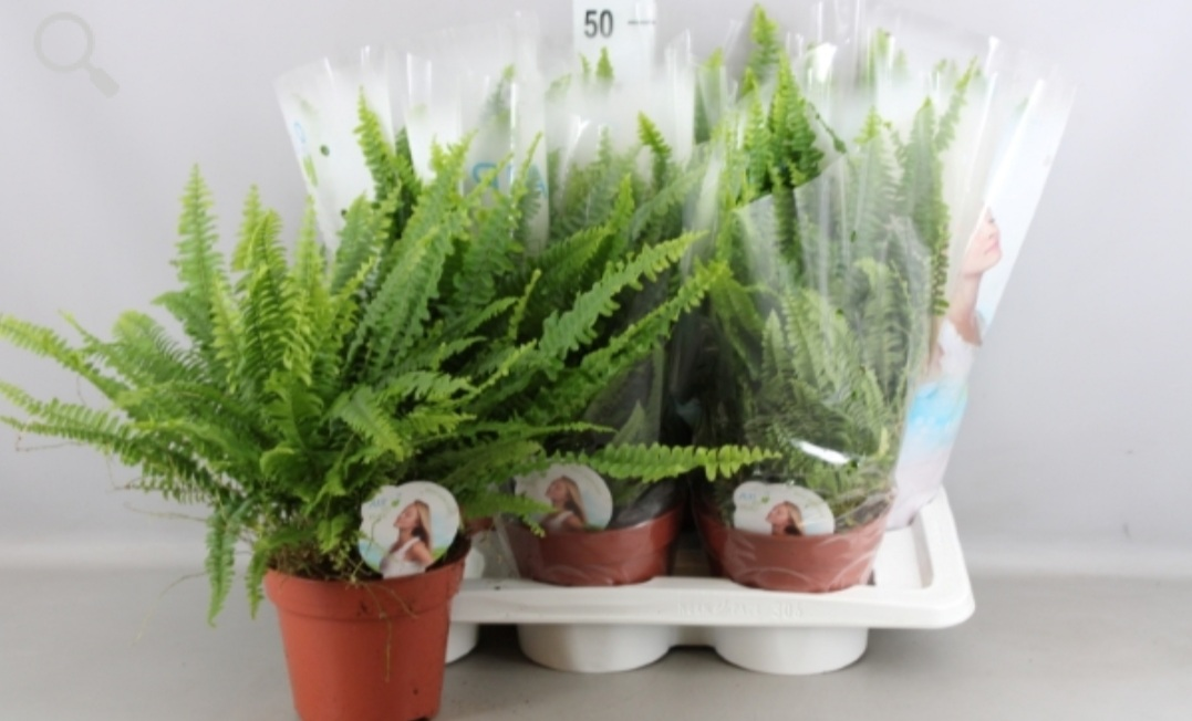 Nephrolepis Exal.green Lady