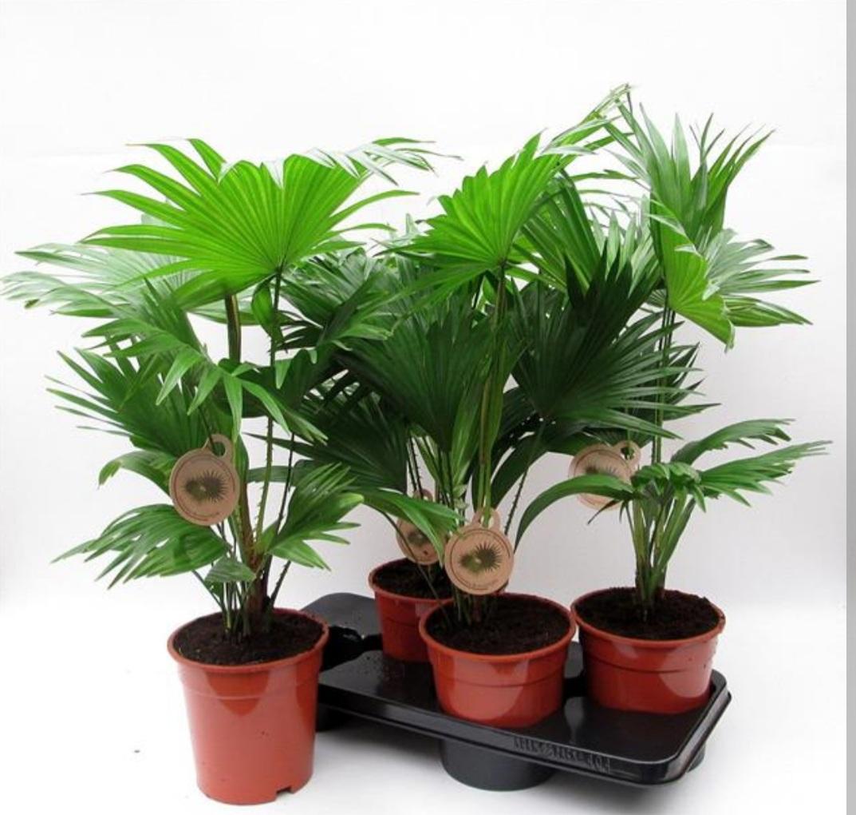 Livistona Rotundifol Waaier Palm