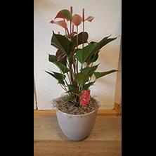 Anthurium plant met bloempot