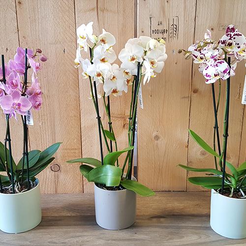 Phalaenopsis + pot