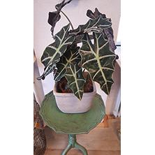 Kamerplant Alocasia met bloempot